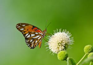 Gulf Fritillary butterfly (Agraulis vanillae) on buttonbush